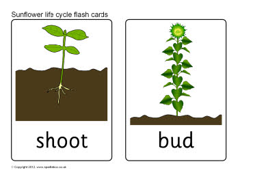 Parts Of A Plant The Plant Life Cycle moreover Activities additionally Ziwani Breeds Kienyeji Chicken as well Flowers as well Eupatorium Fistulosum. on sunflower life cycle