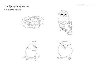 Life cycle of an owl cut and stick activity (SB8750 ...