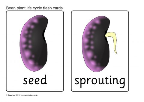 Bean Plant Life Cycle Flash Cards (SB9537) - SparkleBox