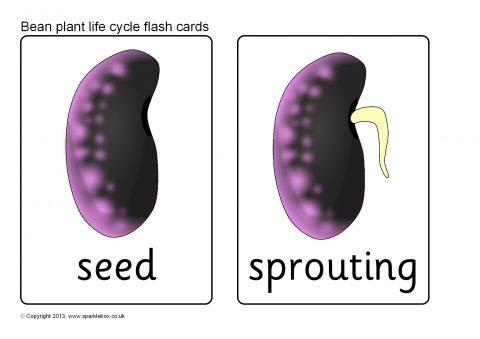 Bean Plant Life Cycle Flash Cards (SB9537) - SparkleBox