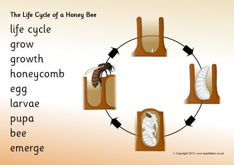 Honey Bee Life Cycle and Growth Teaching Resources - SparkleBox