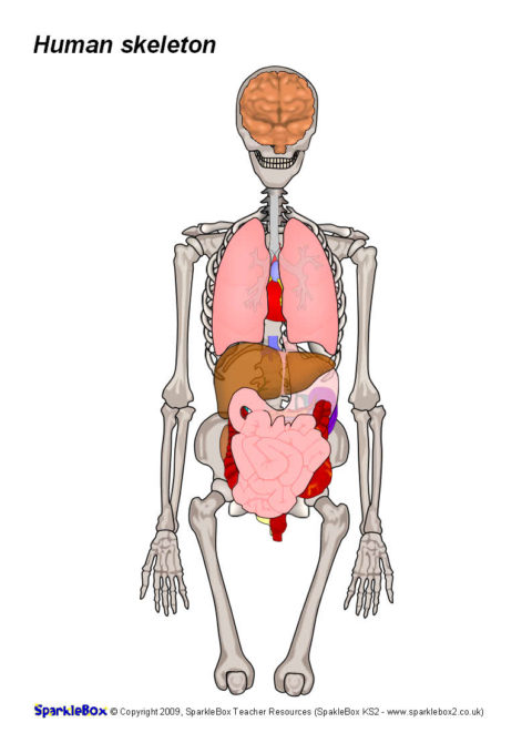 Body Organs For Skeleton Sb6244 Sparklebox