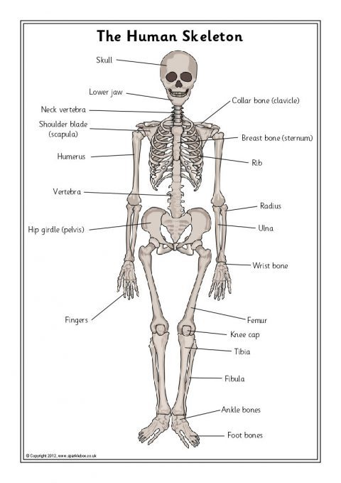Skeleton Bones And Internal Organs Teaching Resources Printables