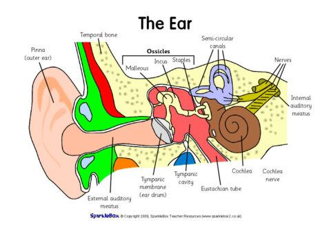 label the ear worksheets
