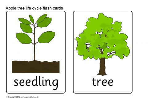 Apple Tree Life Cycle Flash Cards (SB8908) - SparkleBox