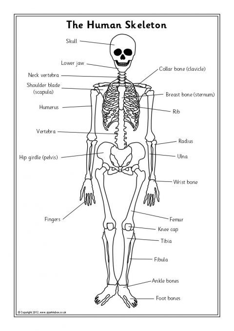 printable human skeleton diagram
