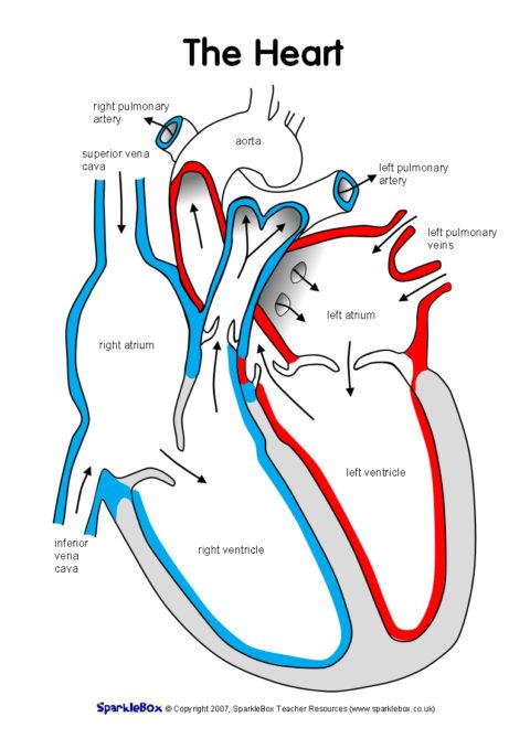 Label The Heart Worksheets  Sb6634