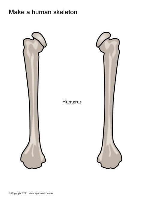 image about Printable Human Skeleton to Assemble referred to as Get a Human Skeleton (SB5145) - SparkleBox
