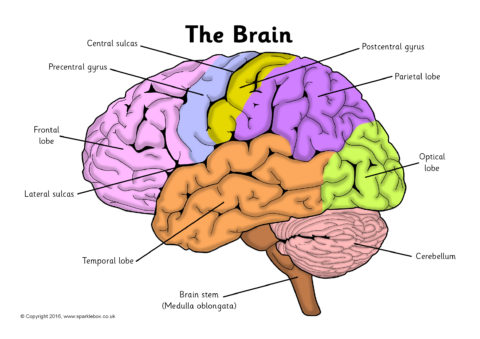 Brain Diagram To Label - Wiring Library •