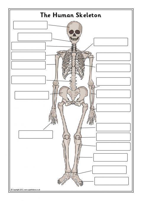 Human Skeleton Labelling Sheets (SB7889) - SparkleBox