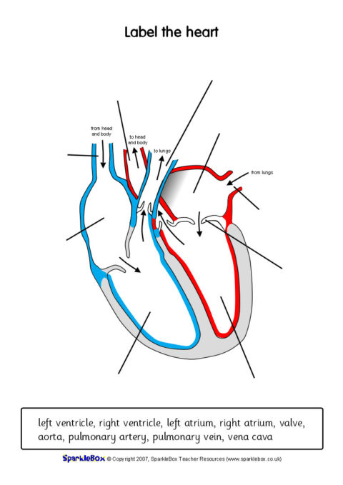 Label The Heart Worksheets Sb6634 Sparklebox