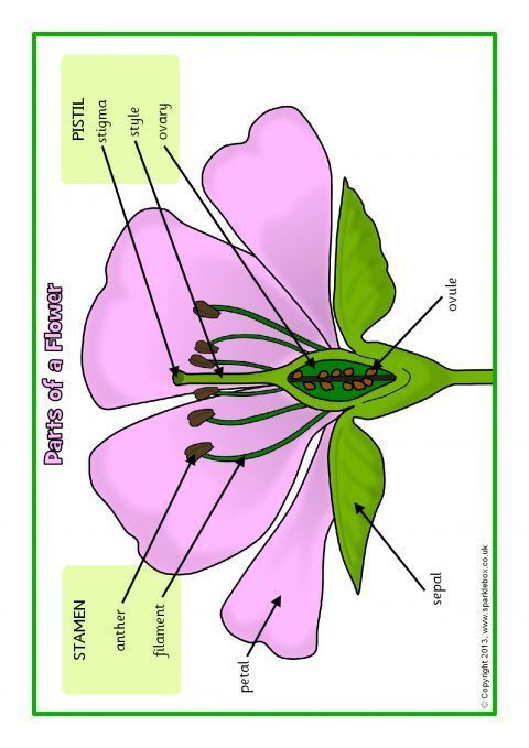 Parts of a Plant and Flower Posters/Worksheets (SB1317) - SparkleBox