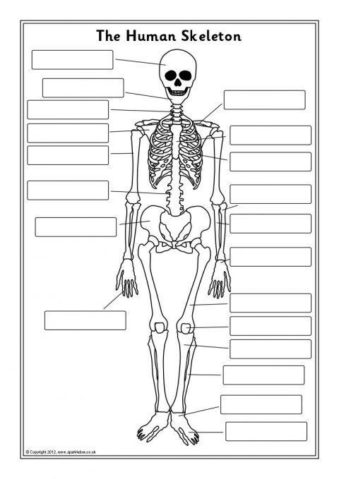 human skeleton labelling sheets  sb7889