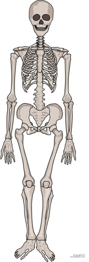 It is a graphic of Life Size Printable Skeleton regarding school project